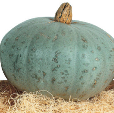 Squash Sweet Meat Seeds