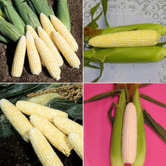 Sweet Corn Seed Collection - Backyard Bicolor (Packets)