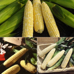 Sweet Corn Seed Collection - Summertime Supersweet