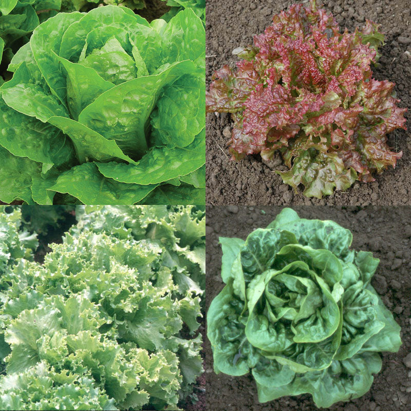 Lettuce Pelleted Seed Collection Seeds