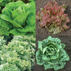 Lettuce Pelleted Seed Collection