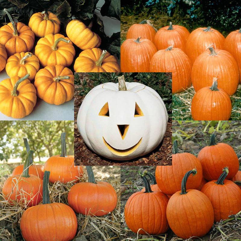 Pumpkin Patch Seed Collection Seeds