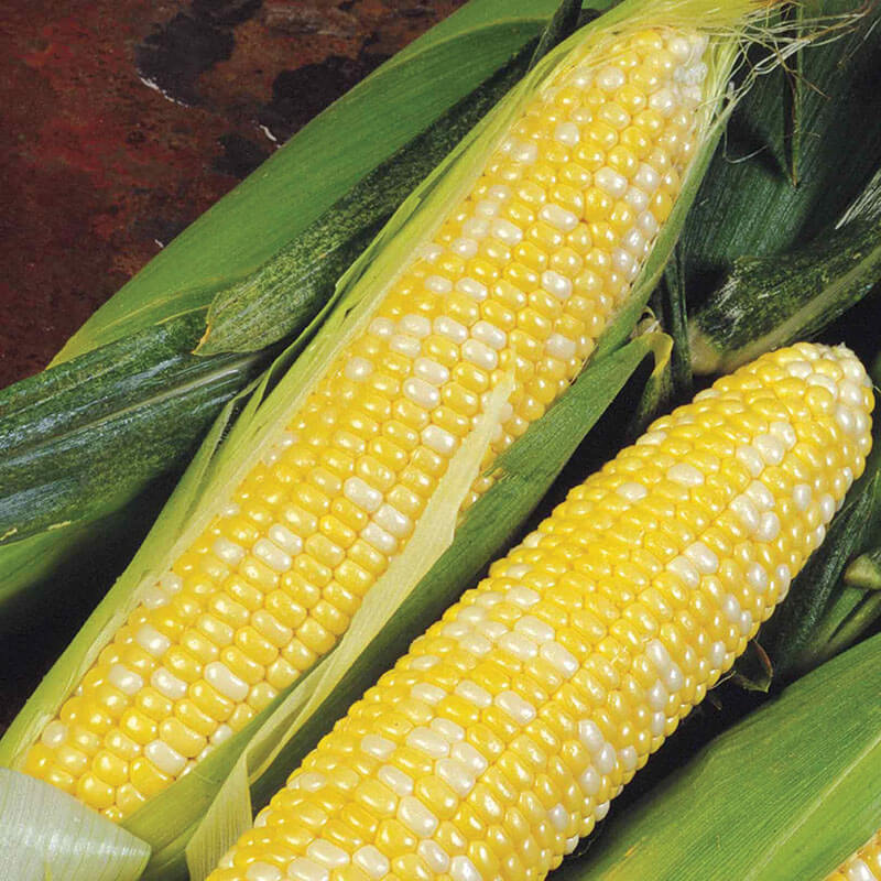Sweet Corn Delectable F1