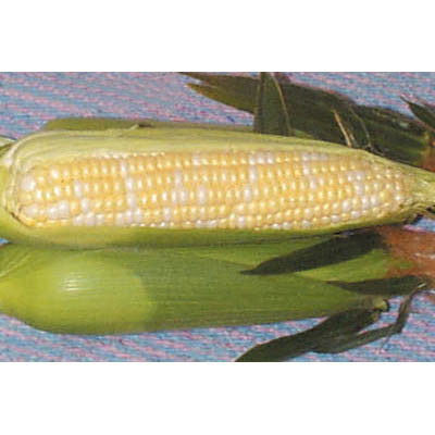 Sweet Corn Native Gem F1