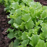 Lettuce Two Star MTO