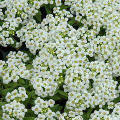 Alyssum Wonderland White
