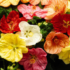 Abutilon Bella Select Mix F1