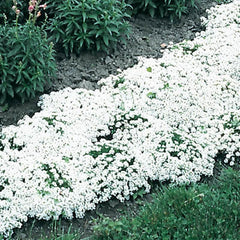 Alyssum New Carpet of Snow