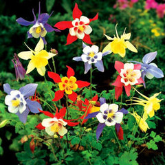 Aquilegia McKanas Giant Mix