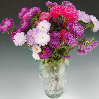 Aster Perfection Mix