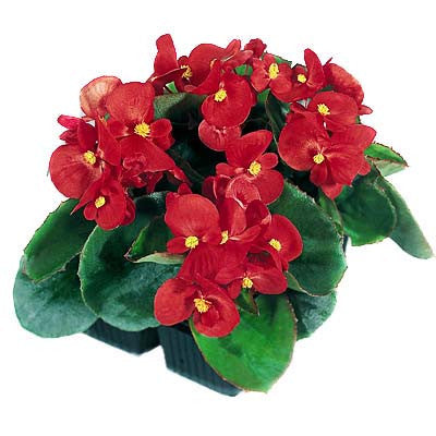 Begonia Super Olympia Red F1
