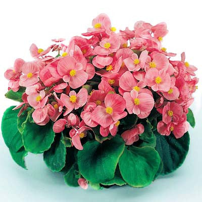 Begonia Super Olympia Pink F1