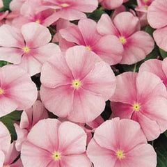 Vinca Pacifica XP Icy Pink
