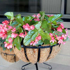 Begonia Dragon Wing Pink F1