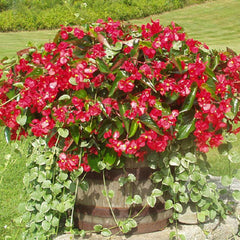Begonia Dragon Wing Red F1