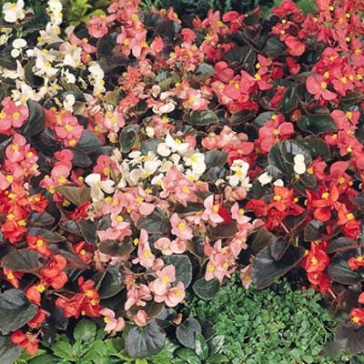 Begonia Cocktail Mix F1