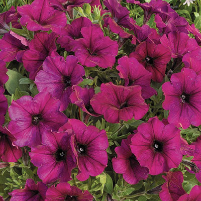 Petunia Ramblin' Burgundy Chrome F1