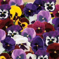 Pansy Majestic Giants II Mix F1