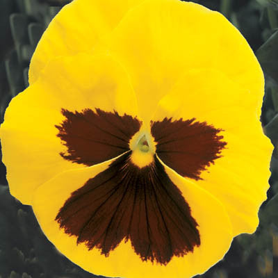 Pansy Majestic Giants II Yellow Blotch F1