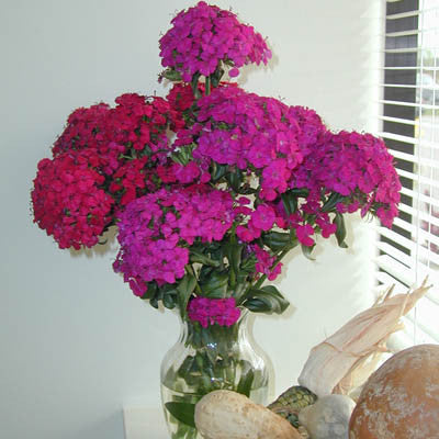 Dianthus Amazon Neon Duo F1