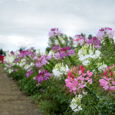 Cleome Queen Mix