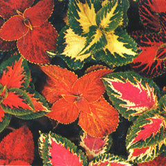 Coleus Rainbow Formula Mix