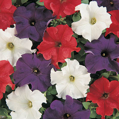 Petunia Dreams Patriot Mix F1