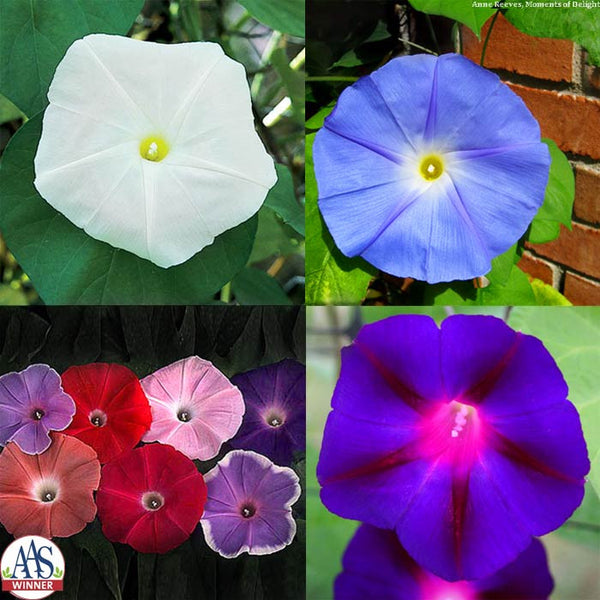 Ipomoea Morning Glory Collection