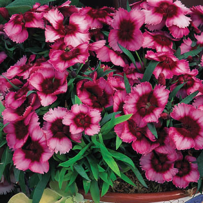 Dianthus Super Parfait Raspberry F1