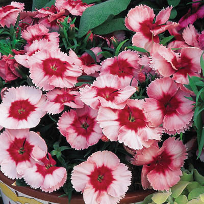 Dianthus Super Parfait Strawberry F1