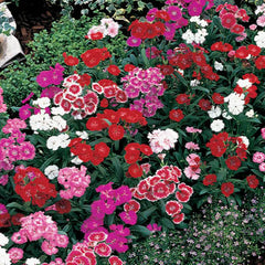 Dianthus Telstar Mix F1