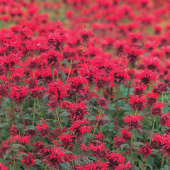 Monarda Panorama Red Shades
