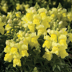 Snapdragon Montego Yellow F1