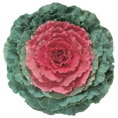 Ornamental Kale Pigeon Red F1