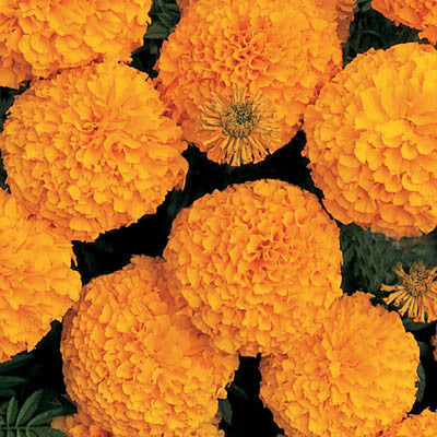 Marigold Inca II Orange F1