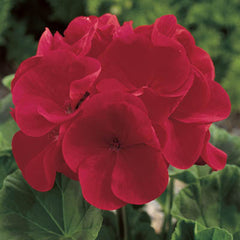 Geranium Maverick Red F1