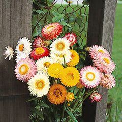 Strawflower Double Mixed Colors