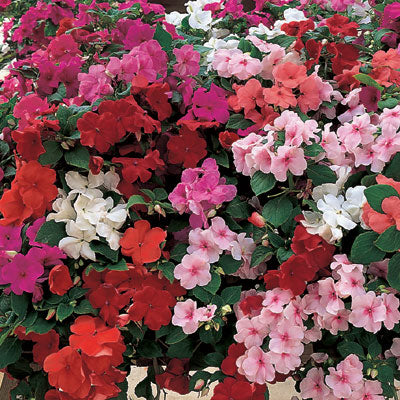 Impatiens Accent Premium Limited Edition Mix F1