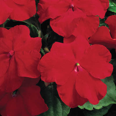 Impatiens Accent Premium Red F1