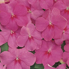 Impatiens Accent Premium Rose F1