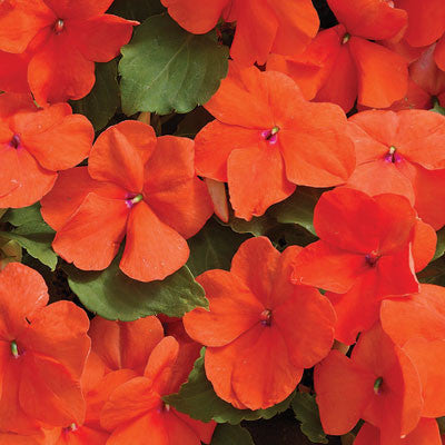 Impatiens Accent Premium Salmon F1