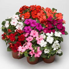 Large Flowered Dwarf Impatiens