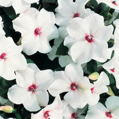 Impatiens Accent Premium Bright Eye F1