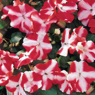 Impatiens Accent Red Star F1