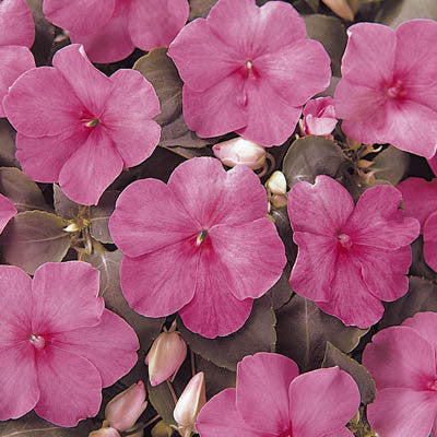 Impatiens Super Elfin XP Pink F1