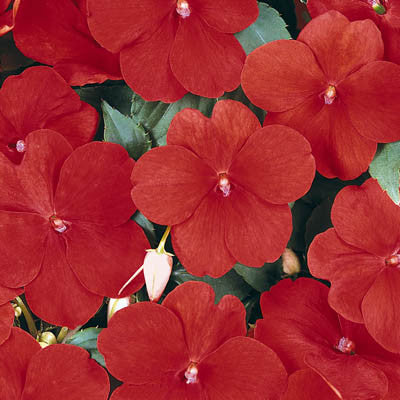 Impatiens Super Elfin XP Red F1