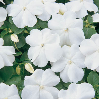 Impatiens Super Elfin XP White F1 Seeds