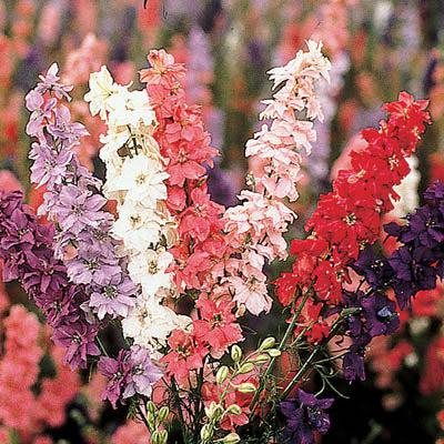 Larkspur Sublime Mix