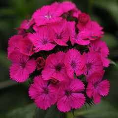 Dianthus Amazon Neon Purple F1