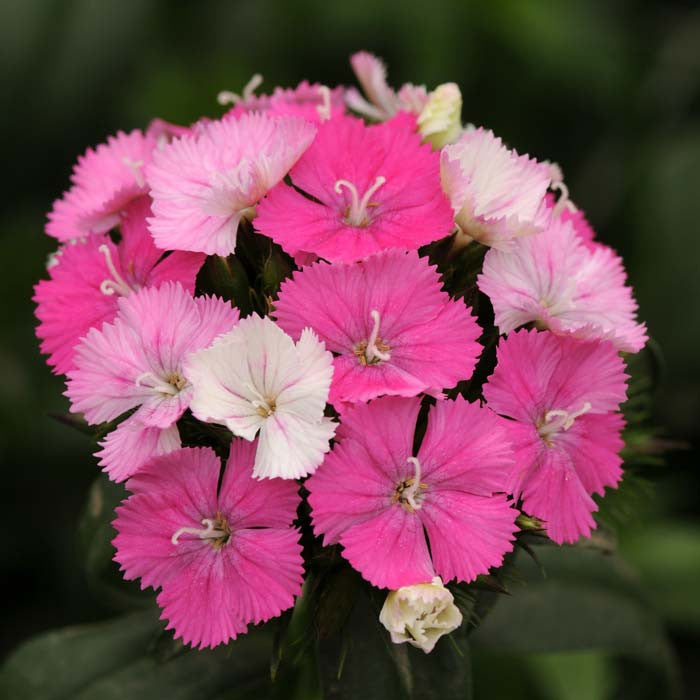 Dianthus Amazon Rose Magic F1